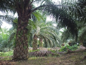Oil palm. Image credit: Philip Chapman