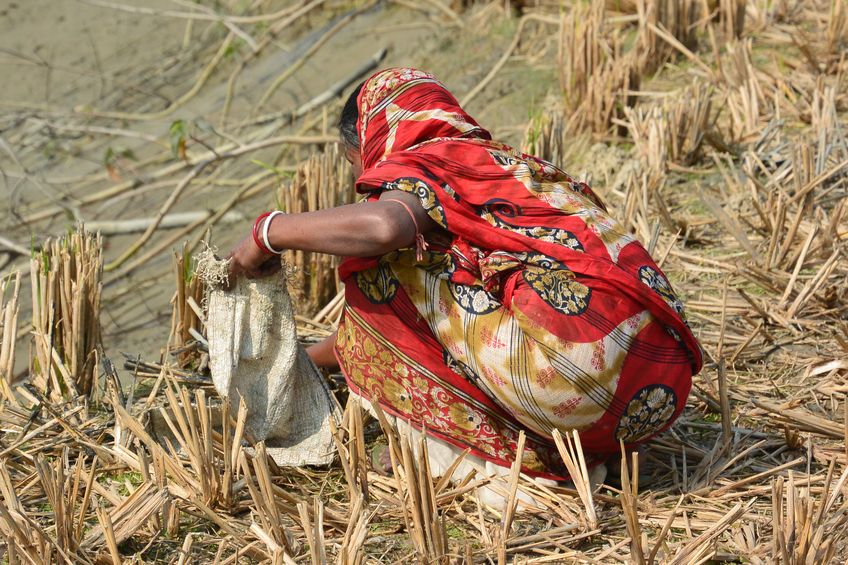 Rural Sunderbans, West Bengal State, India - January 10, 2014: A woman picks up tiny fish in her sack as they are thrown up to her.  The water pond below is almost dry in this drought stricken region.  The unrecognizable female is dressed in a red Sari.